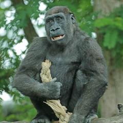 Western lowlandgorilla Burgerszoo JN6A6936 (j.a.kok) Tags: gorilla westelijkelaaglandgorilla westernlowlandgorilla lowlandgorilla laaglandgorilla animal africa afrika aap ape burgerszoo mammal monkey mensaap primate primaat zoogdier dier