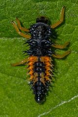 Ladybug in waiting (Fred Roe) Tags: nikond810 nikonafsmicronikkor105mmf28 nature wildlife insect macro ladybug larva macromondays linesymmetry