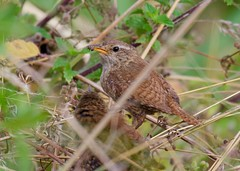 """""""Breakfast is served"""" - Wren & Young - Taken at Sywell Country Park, Sywell, Northants. UK. (Ian J Hicks) Tags:"""