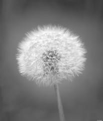 Delicate (Rico the noob) Tags: dof bokeh closeup floral switzerland outdoor 2016 calyx published plant zurich macro monochrome schweiz schlieren 300mmf4pf 300mm blackandwhite bw flower nature d500