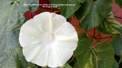 Morning Glory (Pure white) flowering on balcony railings 5th August 2018 (D@viD_2.011) Tags: morning glory balcony railings august 2018