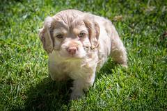 Sun (helenehoffman) Tags: dog puppies puppy cockerspaniel animal pet
