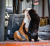 Affection on the back of a Forklift (PerfectStills) Tags: meath d850 affection ireland bulldog photography dog cat hugs perfectstillscom aubreymartin feb18 perfectstills