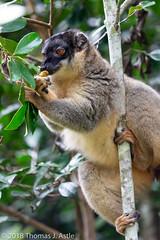 Common Brown Lemur (Tom's Macro and Nature Photographs) Tags: naturephotography wildlifephotography mammals primates lemur madagascar animals wildlife