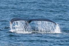 AHK_6602 (ah_kopelman) Tags: nyc0005 2018 cresli creslivikingfleetwhalewatch megapteranovaeangliae montaukny vikingfleet vikingstarship humpbackwhale whalewatch