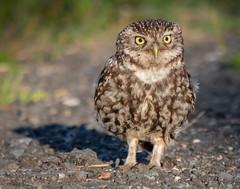 Little Owl (Steve D'Cruze) Tags: owl little nikon d500 athene noctua wildlife uk sefton merseyside