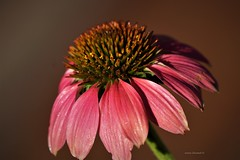 Pink Echinacea Flower (Anton Shomali - Thank you for over 1 million views) Tags: yellow echinacea angustifolia flower wet summer flickr single head atop green purple colour color pink sun coneflower sunflower dark black light rain backyard closeup macro beautiful beauty sony garden season background plant slta77v bright people photo