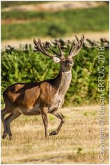 Red Deer male Stag  -  Cervus elaphus / Taken at Bradgate Park Northwest of Leicester - UK (R ERTUG) Tags: reddeer stag cervuselaphus nikond610fx nikkor200500mmf56eafse bradgatepark rertug leicestershire ertug