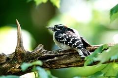 Downy Woodpecker (Anne Ahearne) Tags: wild bird animal nature wildlife tree birdwatching woodpecker downywoodpecker