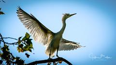 Egrets learning to fly (Jeffrey Balfus (thx for 2 Million views)) Tags: birds sony100400mm sonya9mirrorless sonyilce9 sonyalpha ergrets fullframe mountainview california unitedstates us sony a9 mirrorless birdwatcher
