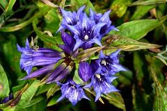 GORYCZKA TROJEŚCIOWA (Gentiana asclepiadea) 1 (goolary) Tags: flowers beskidy kwiaty przyroda góry