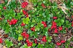 BORÓWKA BRUSZNICA (Vaccinium vitis-idaea) 1 (goolary) Tags: flowers beskidy przyroda kwiaty góry
