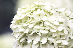 Hortensie (blackpictures) Tags: alittlebeauty coth5