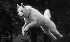 Picture of the Day (Keshet Kennels & Rescue) Tags: rescue kennel kennels adoption dog ottawa ontario canada keshet large breed dogs animal animals pet pets field tree forest nature photography siberian husky jump leap height high athletic sport black white