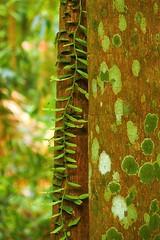 Rainforest Ramble, Victoria Park, via Alstonville, New South Wales, Australia (Red Nomad OZ) Tags: victoriapark alstonville nsw newsouthwales australia rainforest foliage