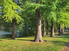 Larches (sander_sloots) Tags: larch trees bomen lork lariks larix vroesenpark rotterdam tree boom europäische lärche