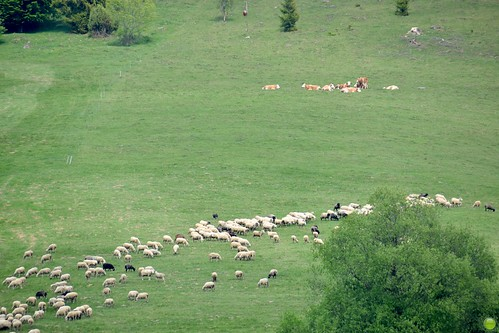 Sheep on the pasture