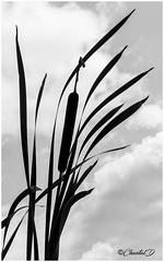 Les Jardins du Loriot. Quenouilles (didier_chantal49) Tags: jardin massettes oriental parc quenouilles venansault paysdelaloire france fr