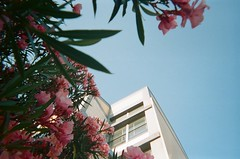 In bloom (matteoguidetti) Tags: film rullino fotografia analogica pellicola color kodak nofilter amalogico bloom flowers city urban fiori pink