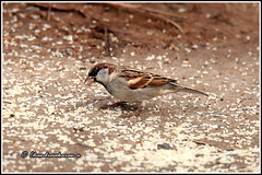 7970 - house sparrow male (chandrasekaran a 50 lakhs views Thanks to all.) Tags: housesparrow sparrows birds nature kotagiri nilgiris tamilnadu india canoneos6dmarkii tamronsp150600mmg2 male
