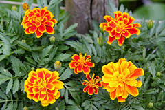 Our garden . Tagetes (Uhlenhorst) Tags: 2018 deutschland bavaria bayern plants pflanzem flowers blumen blossoms blüten germany