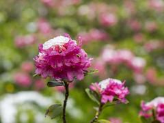 P6230043 (turbok) Tags: almrausch alpenpflanzen pflanze schnee schneeundeis wildpflanzen c kurt krimberger