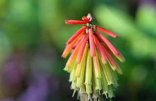 Kniphofia - torch lily
