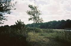 Shirehampton tree, on the bank of the Avon (knautia) Tags: riveravon bristol england uk august 2018 ishootfilm olympus xa2 olympusxa2 nxa2roll54 heatwave river avon footpath 160iso kodak portra myfavouritefromtheroll