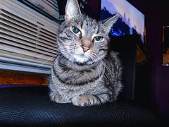 DSC01275 (MykeOwns) Tags: tabbycat tabby cat cats