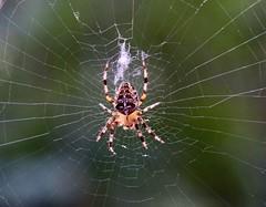 Tangled web (joanneclifford) Tags: fuji macro gardenorbweaver orbweaver weave web spider
