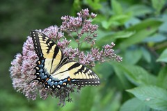 Eastern Tiger Swallowtail (mmcguire500) Tags: yellow easterntigerswallowtail swallowtail nature butterfly