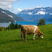 Cow at Lake Thun