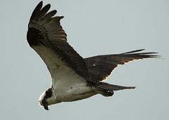 Osprey_Persistence_0100 (Mike Head - Jetwashphotos) Tags: osprey birdofprey hunter hunting persistence soaring bc britishcolumbia canada westerncanada westernregion