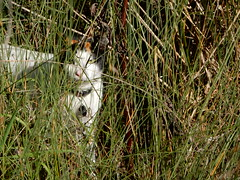 Watch by Lola (Greggiths2013) Tags: reeves swamp grass cat lola feline pet nikon s9700 boronia park