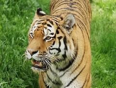 Yorkshire Wildlife Park ...15.08.2018 107 (Andrew Burling (SnapAndy1512)) Tags: yorkshirewildlifepark15082018 amurtiger tiger yorkshire bigcats animals zoo