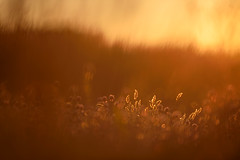 warm summer evenings ... (Sandra Bartocha) Tags: sandrabartocha öland lys