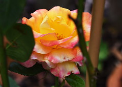 DSC_0954 (PeaTJay) Tags: nikond750 sigma reading lowerearley berkshire macro micro closeups gardens outdoors nature flora fauna plants flowers rose roses rosebuds