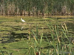 August 13, 2018 - A Snowy Egret hanging out. (LE Worley)