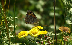 De argusvlinder (Lasiommata megera) (eric zijn fotoos) Tags: holland macro sonyrx10m3 zwanenwater nederland noordholland insekt natuur nature insect butterfly vlinders makro
