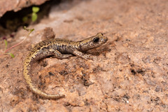 Mount Lyell Salamander (Hydromantes platycephalus) (Chad M. Lane) Tags: wildlife wildlifephotography wild water explore exploring explorer enjoy eye reptiles travel usa outdoors animals animal awesome sb800 d810 fieldherping fullframe flashphotography flash fx greatoutdoors green herps herping hiking herp herpetology love lighting california californiawildlife californiaherps beautiful bokeh nikon nature nikond810 naturephotography nofilter macro macrophotography mothernature mountains tuolumnecounty mount lyell salamander hydromantes platycephalus