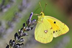 Butterfly - Colias Croceus (C.Frayle) Tags: macrofotografía macro mariposa butterfly borboleta nikon nature amarillo