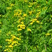 Common Tansy - in bloom - Tarry Edington