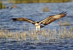 Landing Osprey. (Chris Kilpatrick) Tags: chris canon canon7dmk2 outdoor wildlife nature bird animal osprey salbufera mallorca sigma150mm600mm raptor water lake