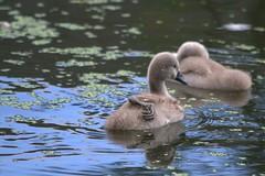 London, Little Venice : Cygnet scratching its back (chriskatsie) Tags: eau water cygne oiseau bird plume feather river riviere