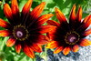 """Z albumu """"Rudbekia"""". (andrzejskałuba) Tags: polska poland pieszyce dolnyśląsk silesia sudety europe panasoniclumixfz200 roślina plant kwiat flower rudbeck rudbekia zieleń green garden ogród orange brązowy brown yellow żółty macro beautiful color natura nature natural natureshot natureworld"""