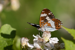 White admiral nectaring on bramble (Shapwick Heath) (Steve Balcombe) Tags: insect butterfly white admiral lepidoptera nymphalidae limenitis camilla shapwickheath nnr somerset levels uk