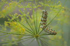rups 2 (Mijn natuurfoto's) Tags: koninginnenpage rups papiliomachaon bloemvandille dille naturephotography natuurfotografie natuurlijklicht bokeh summer zomer macro 100mm canon7dmarkii canon7dmii caterpillar commonswallowtail