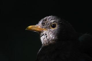 Merle noir - Turdus merula - Blackbird