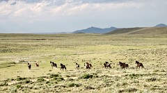 The Days Run Away Like Wild Horses Over the Hills -C. Bukowksi (prairiegirrl) Tags: wildhorses mustangs publiclands wildlife greenmountain wyoming keepwildhorseswild