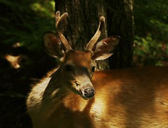 White Tailed Deer - young buck (Eric C. Reuter) Tags: nature widlife ny catskills lake cabin hancock august 2018 080918 somersetlake langroad peaseddyroad butterflies butterfly insects
